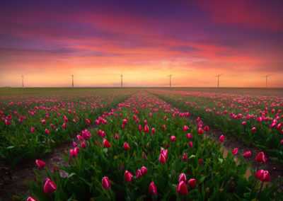 Netherlands-Photography-Drone-Workshop-tulips-1